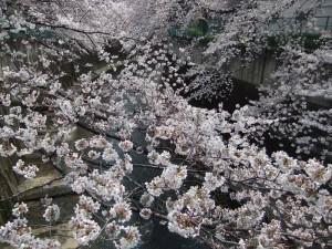 東京都板橋区加賀の桜
